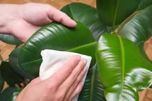 zimmerpflanze-gegen-staub